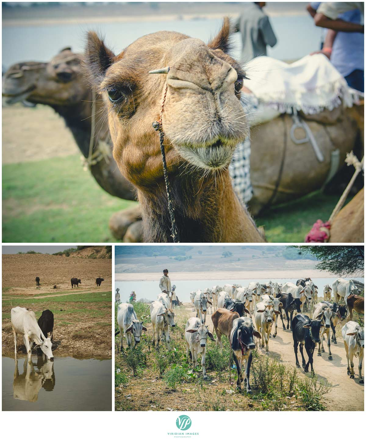 India_Chambal_Safari_Viridian_Images_photo_11