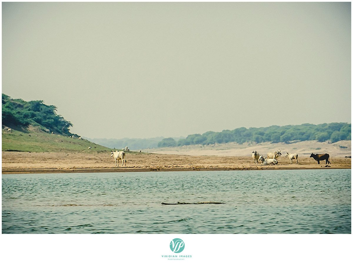 India_Chambal_Safari_Viridian_Images_photo_6