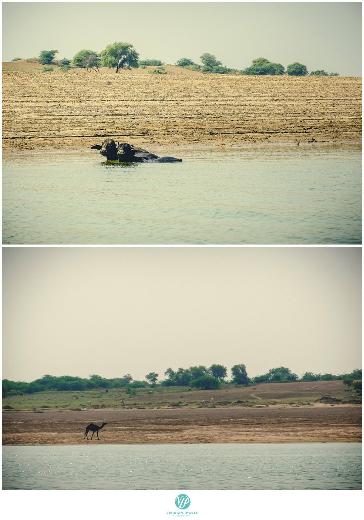 India_Chambal_Safari_Viridian_Images_photo_7