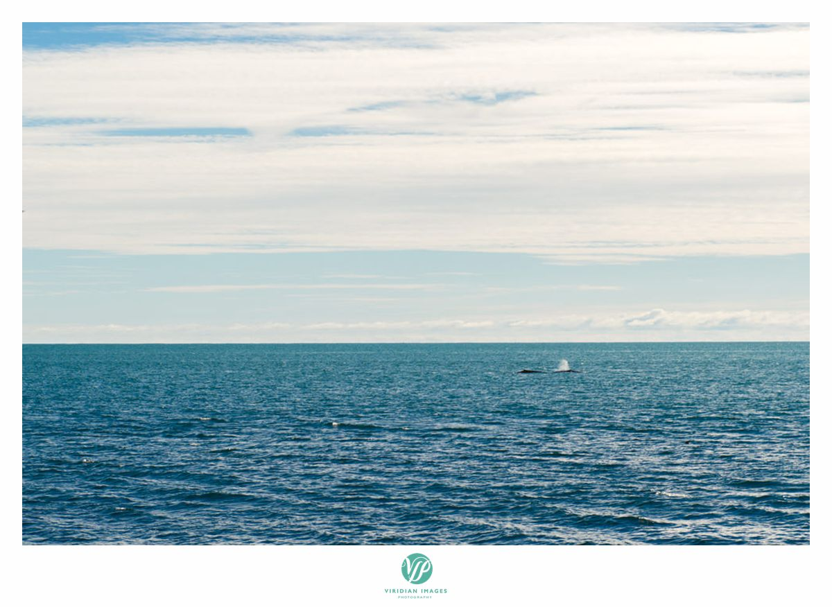 iceland-engagement-destination-minke-whales-viridian-images-photography-whale-26