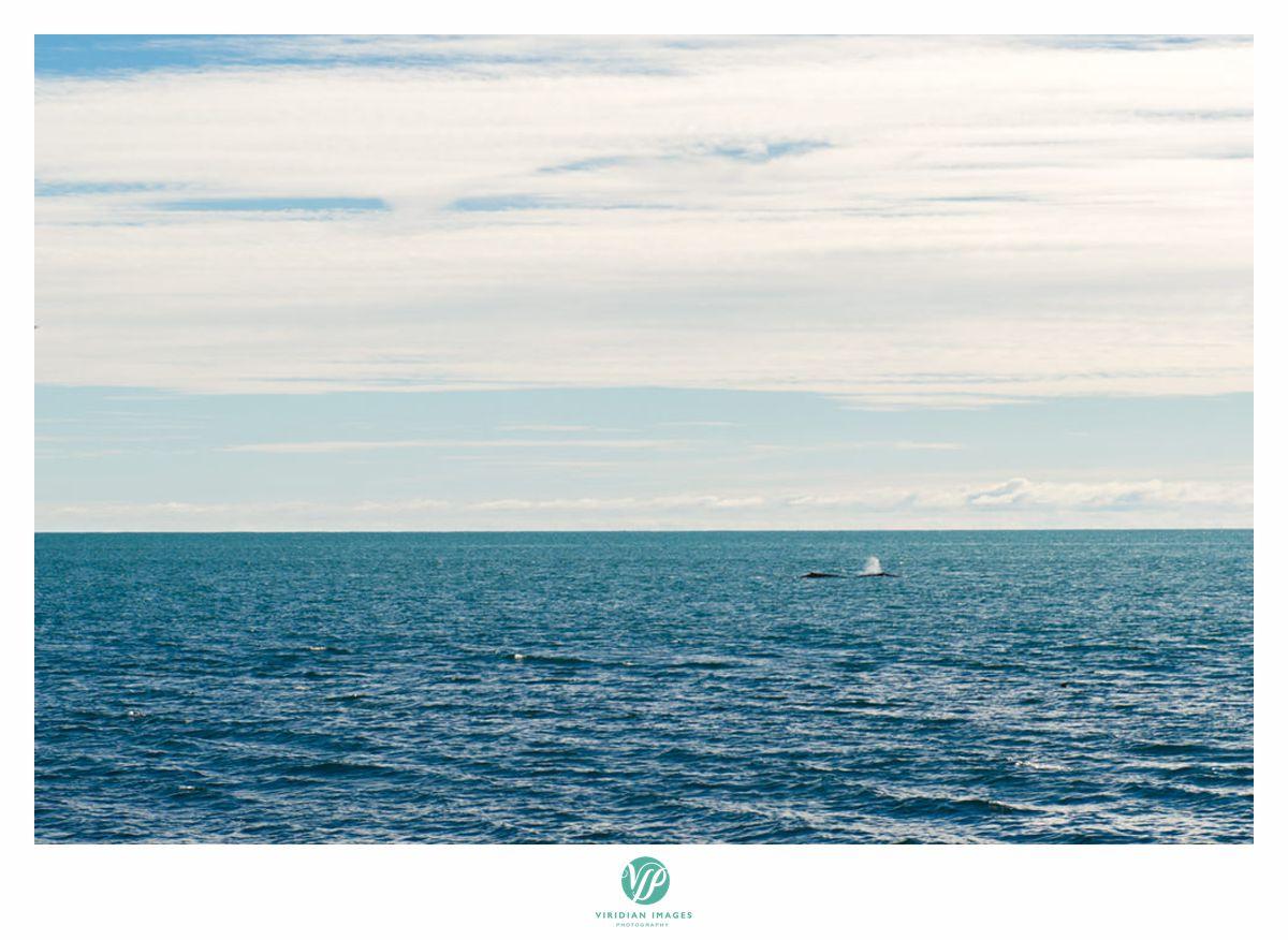 iceland-engagement-destination-minke-whales-viridian-images-photography-whale-26