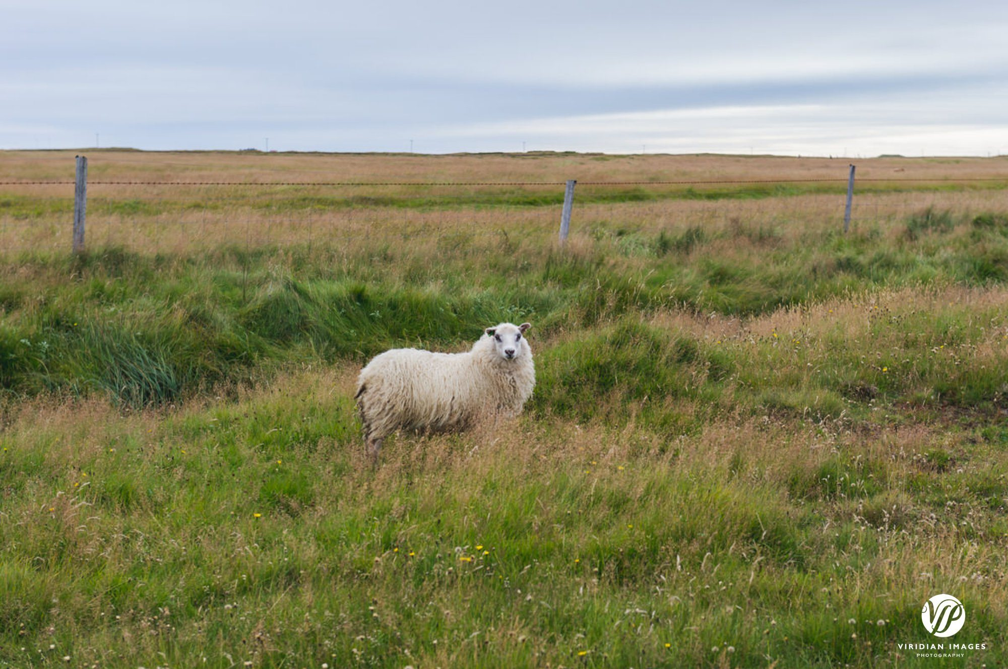 Icelandic Sheep grazing in field in Iceland